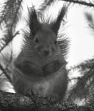 χαριτωμένος σκίουρος συνεδρίασης κλάδων Στοκ Εικόνες