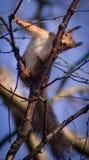 Χαριτωμένος σκίουρος Χ Στοκ Φωτογραφία
