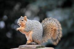 χαριτωμένος σκίουρος στοκ εικόνες με δικαίωμα ελεύθερης χρήσης