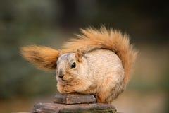 χαριτωμένος σκίουρος Στοκ Εικόνες
