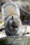 χαριτωμένος σκίουρος Στοκ φωτογραφίες με δικαίωμα ελεύθερης χρήσης