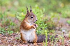 Χαριτωμένος σκίουρος Στοκ Φωτογραφίες