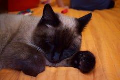 Χαριτωμένος σκωτσέζικος ευθύς ύπνος γατών σε ένα πορτοκαλί καρό Στοκ φωτογραφίες με δικαίωμα ελεύθερης χρήσης