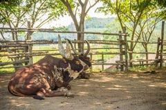 Χαριτωμένος ταύρος ankole-Watusi με τα πολύ μεγάλα κέρατα στο αγρόκτημα Το ankole-Watusi είναι μια σύγχρονη αμερικανική φυλή των  Στοκ εικόνα με δικαίωμα ελεύθερης χρήσης