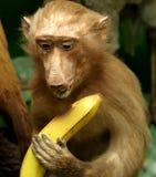 Χαριτωμένος χιμπατζής με την μπανάνα στο πόδι Στοκ Φωτογραφία