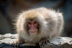 Χαριτωμένος χνουδωτός μικρός πίθηκος Στοκ Εικόνα