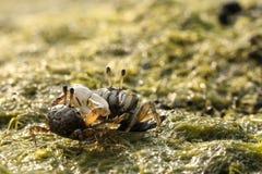 Χαριτωμένος ωκεανός καβουριών Fiddler διπαλιρροιακός Στοκ Εικόνες