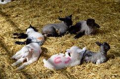 Χαριτωμένος ύπνος αρνιών στο αγρόκτημα Στοκ Φωτογραφίες