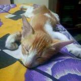 χαριτωμένος ύπνος γατακιώ& Στοκ Φωτογραφίες