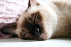 Χαριτωμένος ύπνος γατών του Σιάμ στον πίνακα Στοκ Εικόνα