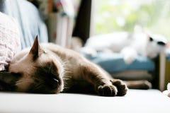 Χαριτωμένος ύπνος γατών του Σιάμ στον πίνακα Στοκ φωτογραφίες με δικαίωμα ελεύθερης χρήσης