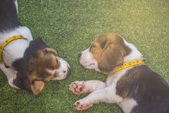 Χαριτωμένος ύπνος κουταβιών λαγωνικών ή ύπνος σκυλιών λαγωνικών δύο κουταβιών Στοκ φωτογραφία με δικαίωμα ελεύθερης χρήσης