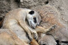 Χαριτωμένος ύπνος meerkat σε μια δέσμη με την οικογένειά του στοκ φωτογραφία