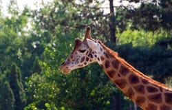 Χαριτωμένος giraffe στενός επάνω Στοκ φωτογραφία με δικαίωμα ελεύθερης χρήσης