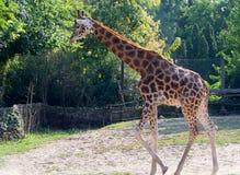 Χαριτωμένος giraffe στενός επάνω Στοκ εικόνα με δικαίωμα ελεύθερης χρήσης