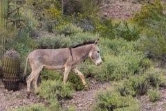 Χαριτωμένο άγριο υποζύγιο που περπατά στην έρημο Στοκ Φωτογραφία