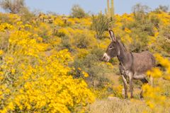 Χαριτωμένο άγριο υποζύγιο στην έρημο την άνοιξη Στοκ Εικόνες