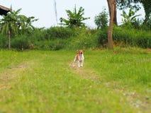 Χαριτωμένο άσπρο καφετί παχύ καλό σκυλί του Russell γρύλων σε ένα καλλιεργήσιμο έδαφος Στοκ εικόνα με δικαίωμα ελεύθερης χρήσης