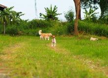 Χαριτωμένο άσπρο καφετί παχύ καλό σκυλί του Russell γρύλων σε ένα καλλιεργήσιμο έδαφος Στοκ εικόνες με δικαίωμα ελεύθερης χρήσης