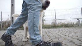 Χαριτωμένο άσπρο μέσο σκυλί που τρέχει στον κύκλο με τον επαγγελματικό εκπαιδευτή του στο σχολείο κατάρτισης σε σε αργή κίνηση - απόθεμα βίντεο