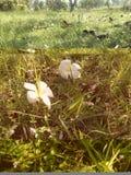 Χαριτωμένο άσπρο plumeria Στοκ εικόνα με δικαίωμα ελεύθερης χρήσης