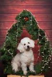 Χαριτωμένο άσπρο poodle στα Χριστούγεννα Στοκ Φωτογραφίες