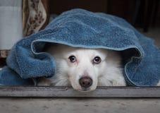 Χαριτωμένο άσπρο spitz σκυλί κάτω από ένα μπλε κάλυμμα που βρίσκεται αδρανώς και που κοιτάζει επίμονα κοντά στην πόρτα Στοκ Φωτογραφία