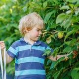 Χαριτωμένο αγόρι μικρών παιδιών που έχει τη διασκέδαση με τα μούρα επιλογής στο σμέουρο Στοκ εικόνες με δικαίωμα ελεύθερης χρήσης