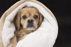 Χαριτωμένο αθώο κουτάβι που τυλίγεται στο κάλυμμα που απομονώνεται στο Μαύρο Στοκ Φωτογραφία