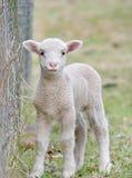 χαριτωμένο αρνί μωρών Στοκ Φωτογραφίες