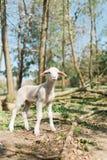 Χαριτωμένο αρνί που μένει στα αδύνατα πόδια στον πιό forrest στο βιο αγρόκτημα στοκ εικόνες
