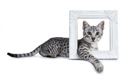 Χαριτωμένο ασημένιο επισημασμένο αιγυπτιακό γατάκι γατών Mau που βάζει τους δευτερεύοντες τρόπους με το μπροστινό πόδι σε όλο ένα Στοκ εικόνα με δικαίωμα ελεύθερης χρήσης