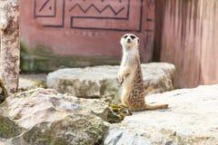 Χαριτωμένο αστείο meerkat που στέκεται σε δύο πόδια Στοκ Εικόνες