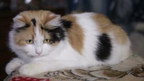 Χαριτωμένο γατάκι, κατοικίδιο ζώο γατών, μικρό κατοικίδιο ζώο με τα μουστάκια και γούνινο παλτό, κόκκινο, που παίζει με την κίτρι απόθεμα βίντεο