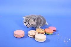 Χαριτωμένο γατάκι με τα macarons Στοκ Εικόνα