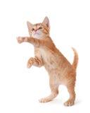 Χαριτωμένο γατάκι που στέκεται και που παίζει στο λευκό. Στοκ Φωτογραφίες