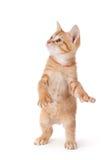 Χαριτωμένο γατάκι που στέκεται και που παίζει στο λευκό. Στοκ Εικόνες