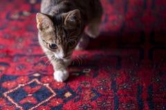 Χαριτωμένο γατάκι στο κόκκινο χαλί, Στοκ εικόνες με δικαίωμα ελεύθερης χρήσης
