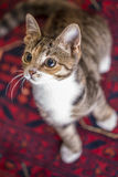 Χαριτωμένο γατάκι στο κόκκινο χαλί, Στοκ Φωτογραφίες