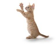 Χαριτωμένο γατάκι στο οπίσθιο παιχνίδι ποδιών Στοκ Εικόνες