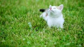 Χαριτωμένο γατάκι τριών χρώματος φιλμ μικρού μήκους