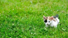 Χαριτωμένο γατάκι τριών χρώματος απόθεμα βίντεο