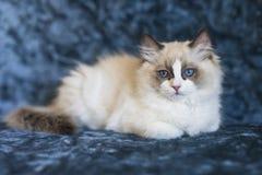 Χαριτωμένο γατάκι Ragdoll στοκ φωτογραφία