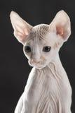 χαριτωμένο γατάκι sphinx Στοκ φωτογραφία με δικαίωμα ελεύθερης χρήσης