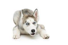 Χαριτωμένο γεροδεμένο σκυλί κουταβιών Στοκ Φωτογραφίες