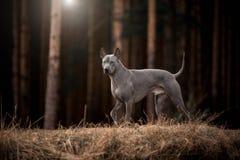 Χαριτωμένο γκρίζο ταϊλανδικό σκυλί Ridgeback που περπατά στο δάσος στοκ φωτογραφίες