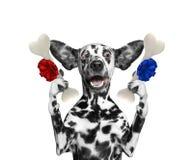 Χαριτωμένο δαλματικό σκυλί που εξετάζει τα κόκκαλα με την έκπληξη Απομονωμένος στο λευκό στοκ φωτογραφίες