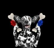 Χαριτωμένο δαλματικό σκυλί που εξετάζει τα κόκκαλα με την έκπληξη Απομονωμένος στο Μαύρο στοκ εικόνες