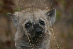 Χαριτωμένο επισημασμένο μωρό Hyena Στοκ Φωτογραφίες