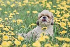 Χαριτωμένο ευτυχές κουτάβι σκυλιών shitzu που βάζει στη φρέσκια θερινή χλόη Στοκ Εικόνα